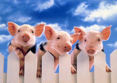 Werbefoto mit Schweinchen